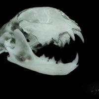 """Iš ciklo """"Post mortem"""" (2019). Lūšis. Kaukolės projekcija ant rentgeno plokštelės"""